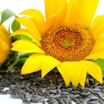 Sementes de Girassol Benefícios, Para que serve,Como Usar