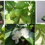 Chá de Folha de Goiaba:  Conheça Todos os Seus Benefícios
