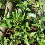 Guaco – Propriedades,Benefícios e Indicações