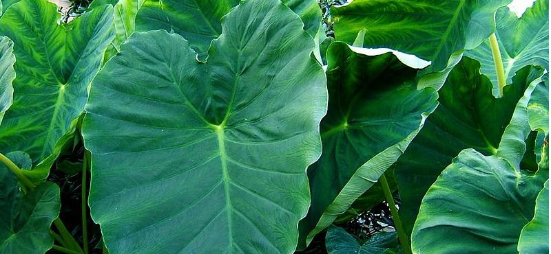 taioba planta