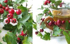 Os Benefícios do Chá de Espinheira Santa e Como Fazer.