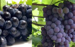 Saiba por que deve consumir uva todos os dias!