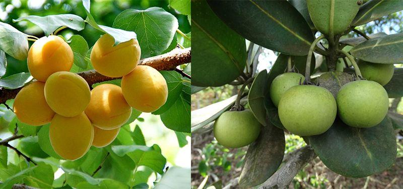Abricó fruta: Origem