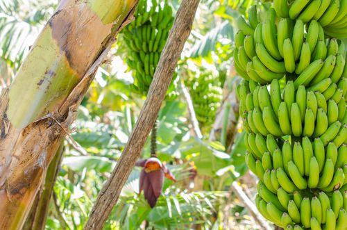 Banana Composição