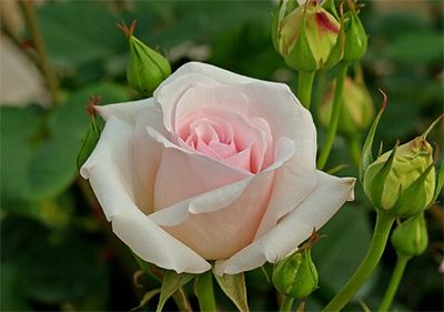 Chá de rosa branca para corrimento