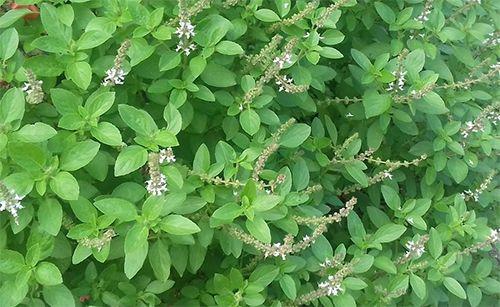 alfavaca planta