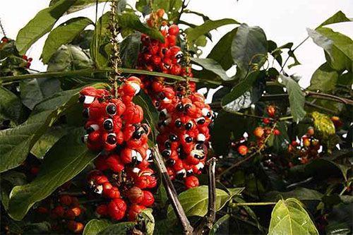 guaraná fruta