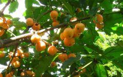 Abiu Amarelo Fruta, Propriedades, Como Comer e Fazer o Chá.