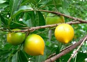 Abiu Amarelo Fruta