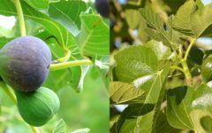 Chá de folha de figo: para que serve?