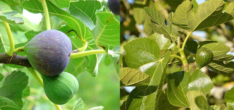benefícios das folhas de figueira