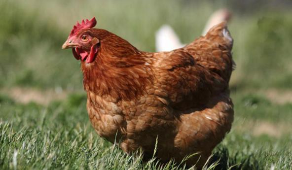 Estudo em galinhas aponta dados importantes sobre a imunidade humana