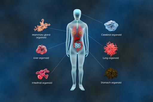 Inovação: cientistas criam miniaturas de órgãos para estudar a Covid-19